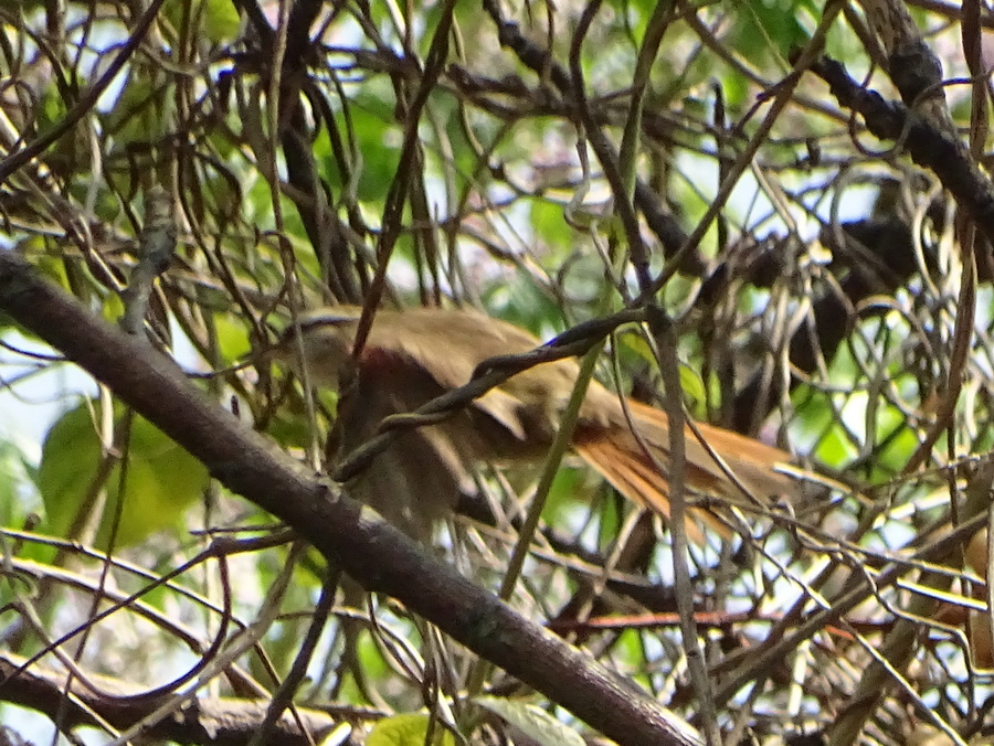 Curutié blanco/Stripe-crowned spinetail