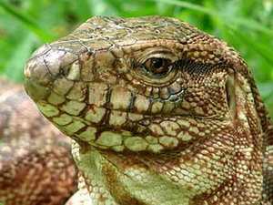 Red Tegu Lizard