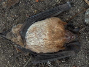 Peters's Mastiff Bat