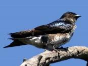 Golondrina doméstica/Gray-breasted Martin