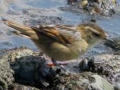 Junquero/Wren-like Rushbird