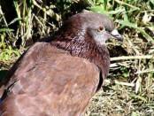 Paloma doméstica/Rock Pigeon